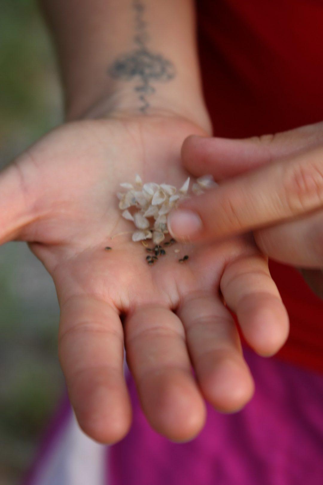 ליקוט זרעי סרפד